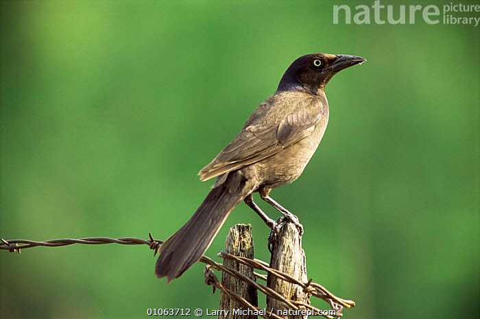 Common Grackle {Quiscalus quiscula} perching on post, Wisconsin, USA., BIRDS,FARMLAND,GRACKLES,HORIZONTAL,PASSERINES,PROFILE,USA,VERTEBRATES,North America, Larry Michael