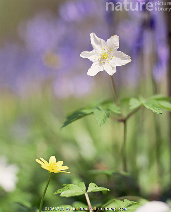 Wood Anemone {Anemone nemorosa} UK, DICOTYLEDONS,EUROPE,FLOWERS,LEAVES,PLANTS,RANUNCULACEAE,UK,VERTICAL,WOODLANDS,United Kingdom,British, Neil Bromhall