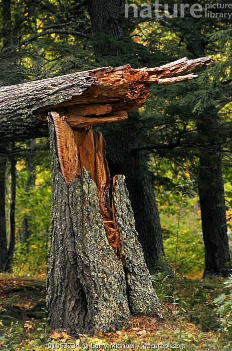 Broken tree trunk, visible storm damage, Wisconsin, USA, CONIFEROUS,NORTH AMERICA,STORMS,TREES,TRUNKS,USA,VERTICAL,WEATHER,Plants, Larry Michael