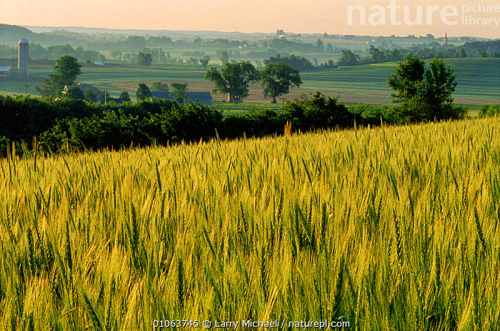 Field of wheat Wisconsin, USA, LM,PLANTS,AGRICULTURE,HORIZONTAL,LAWRENCE,WHEAT,CROPS,MICHAEL,LANDSCAPES,AMERICA,FARMLAND,North America,USA, Larry Michael