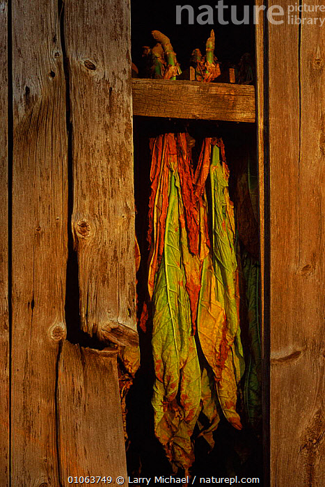 Tobacco drying in barn Wisconsin, USA, PLANTS,AMERICA,BACKGROUNDS,TOBACCO,TRADE,MICHAEL,LAWRENCE,BARN,AGRICULTURE,LM,DRYING,LEAVES,VERTICAL,BUILDINGS,North America,USA, Larry Michael