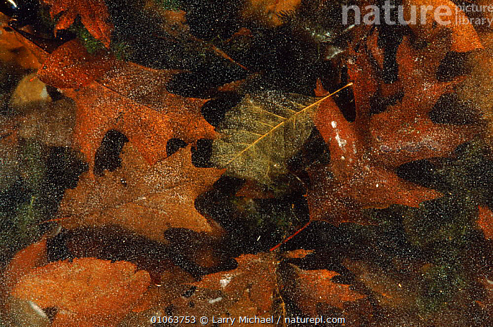 Autumn leaves frozen in ice Wisconsin, USA, AMERICA,AUTUMN,BACKGROUNDS,FROZEN,HORIZONTAL,ICE,LEAVES,LM,PATTERNS,USA,WINTER,NORTH AMERICA, Larry Michael