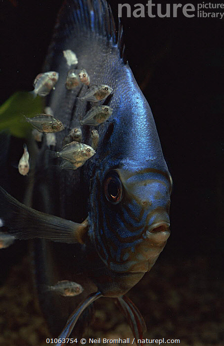 Male Discus fish {Symphysodon discus} with its fry feeding off slime on his body., AQUARIUM,CICHLIDS,FEEDING,FISH,FRESHWATER,OSTEICHTHYES,PARENTAL BEHAVIOUR,PORTRAITS,VERTEBRATES,VERTICAL, Neil Bromhall