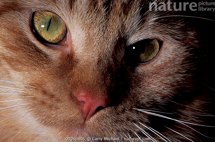 Domestic cat face close up {Felis catus}  ,  LAWRENCE,CLOSE UPS,PETS,WHISKERS,EYES,FACES,CATS,CARNIVORES  ,  Larry Michael