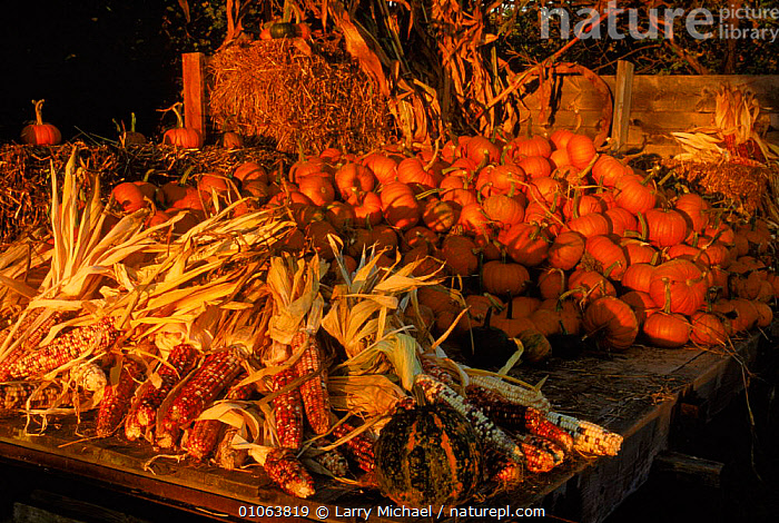Pumpkins and maize on truck at harvest time.  Wisconsin, USA  ,  AMERICA,LAWRENCE,ORANGE,MARKET,TRADE,LM,COLOURFUL,CROPS,HORIZONTAL,VEGETABLES,MIXED SPECIES,PLANTS,AUTUMN,MAIZE,MICHAEL,PUMPKINS,EDIBLE,HARVESTING,North America,USA  ,  Larry Michael