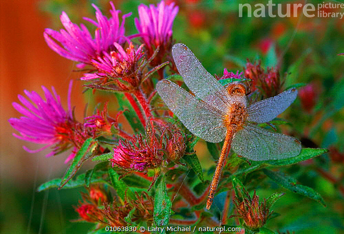 Dragonfly on plant covered with dew  USA, AMERICA,DEW,FLOWERS,HORIZONTAL,INSECTS,INVERTEBRATES,LAWRENCE,LM,MICHAEL,NORTH AMERICA,ODONATA,PLANTS,PURPLE,USA,WINGS, Larry Michael