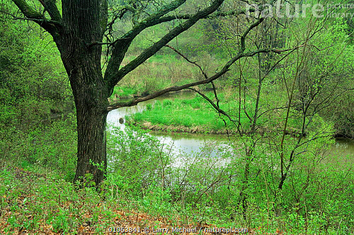 Oak tree (Quercus sp) beside creek in late spring, Wisconsin, USA, sequence 2 / 6, LANDSCAPES,NORTH AMERICA,PLANTS,RIVERS,Seasonal,seasons,SEQUENCE,SPRING,TREES,USA,WOODLANDS, Larry Michael