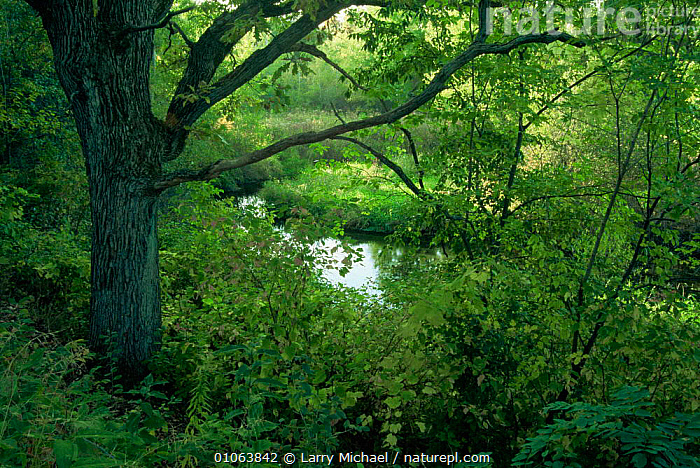 Woodland landscape with river. Summer. Wisconsin, USA Sequence 2/4  ,  HORIZONTAL,LANDSCAPES,NORTH AMERICA,PLANTS,RIVERS,SEQUENCE,SUMMER,TREES,USA,WOODLANDS  ,  Larry Michael