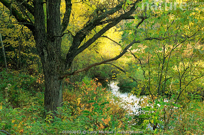 Woodland landscape with river. Autumn. Wisconsin, USA Sequence 3/4, AUTUMN,HORIZONTAL,LANDSCAPES,NORTH AMERICA,PLANTS,RIVERS,SEQUENCE,SUMMER,TREES,USA,WOODLANDS, Larry Michael