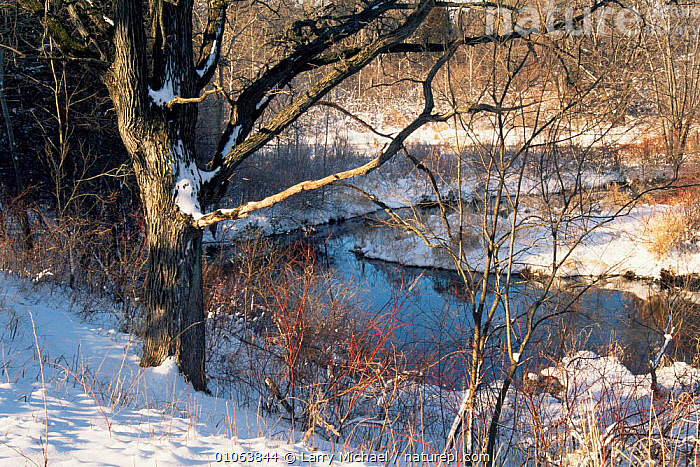 Snow covered Oak tree (Quercus sp) beside creek in early winter, Wisconsin, USA, sequence 6 / 6, LANDSCAPES,NORTH AMERICA,PLANTS,RIVERS,Seasonal,seasons,SEQUENCE,TREES,USA,WINTER,WOODLANDS, Larry Michael