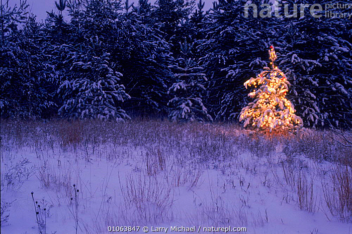 Christmas tree on edge of coniferous forest Wisconsin, USA, LIGHTS,NORWAY,WINTER,HORIZONTAL,SPRUCE,CHRISTMAS,LM,CONIFEROUS,MICHAEL,NIGHT,FESTIVE,LAWRENCE,SNOW,LANDSCAPES,EUROPE,SCANDINAVIA,North America,USA, Larry Michael