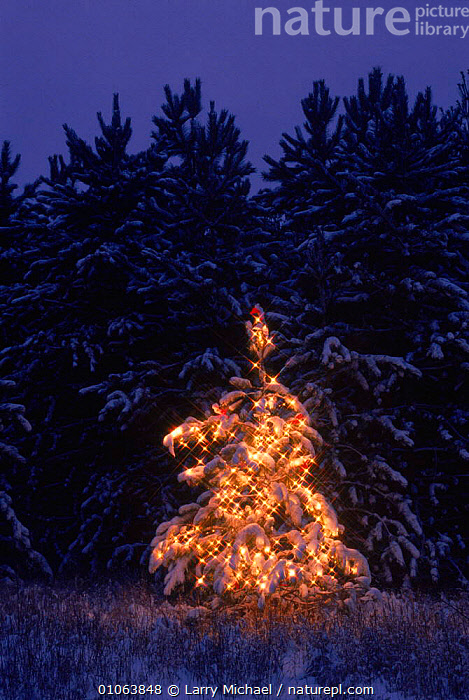 Christmas tree on edge of coniferous forest Wisconsin, USA, LAWRENCE,LIGHTS,CHRISTMAS,SPRUCE,CONIFEROUS,SNOW,LANDSCAPES,FESTIVE,NORWAY,LM,VERTICAL,NIGHT,WINTER,MICHAEL,EUROPE,SCANDINAVIA,North America,USA, Larry Michael