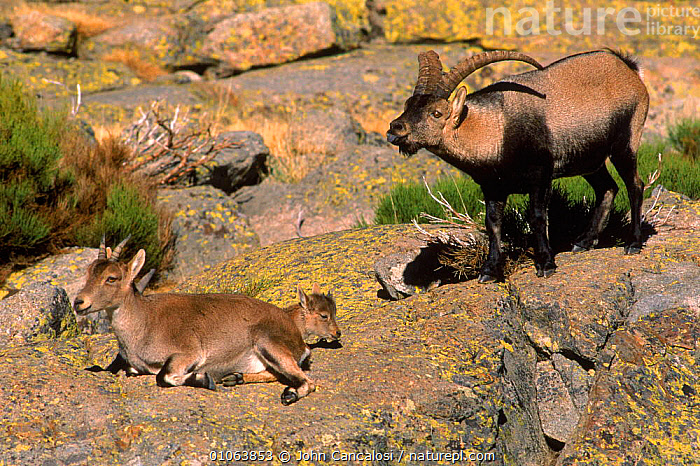 Spanish ibex {Capra pyrenauca} male courtship display to female with calf, Spain, FEMALE,INTERESTING,MALES,MAMMALS,CANCALOSI,JCA,ARTIODACTYLA,JUVENILE,COURTSHIP,DISPLAY,HORIZONTAL,MATING BEHAVIOUR,YOUNG,MOTHER,FAMILIES,EUROPE,HIGHLANDS,HUMOROUS,JOHN,SPAIN,CALF,MALE,CONCEPTS,REPRODUCTION,COMMUNICATION,GOATS,ANTELOPES, John Cancalosi