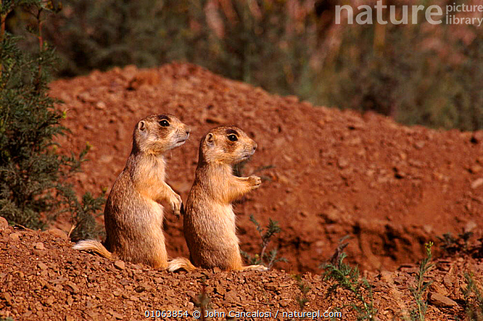 Two juvenile white tailed prairie dogs {Cynomys leucurus} on alert at burrow, Colorado USA, TWO,ALERT,BURROW,CANCALOSI,JUVENILE,USA,HOMES,JOHN,COLORADO,CUTE,YOUNG,RODENTS,JCA,DESERTS,HORIZONTAL,MAMMALS,NORTH AMERICA,Grassland, John Cancalosi