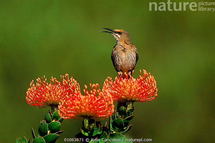 Cape sugerbird {Promerops cafer} on Pincushion {Laucospermum spp}, South Africa, AFRICA,BIRDS,CALLING,CANCALOSI,COLOURFUL,FLOWERS,HORIZONTAL,JCA,JOHN,LAUCOSPERMUM,ORANGE,OUTSTANDING,PASSERINES,PINCUSHION,PLANTS,SOUTH,SOUTHERN AFRICA,TERRITORIAL,VOCALISATION, John Cancalosi