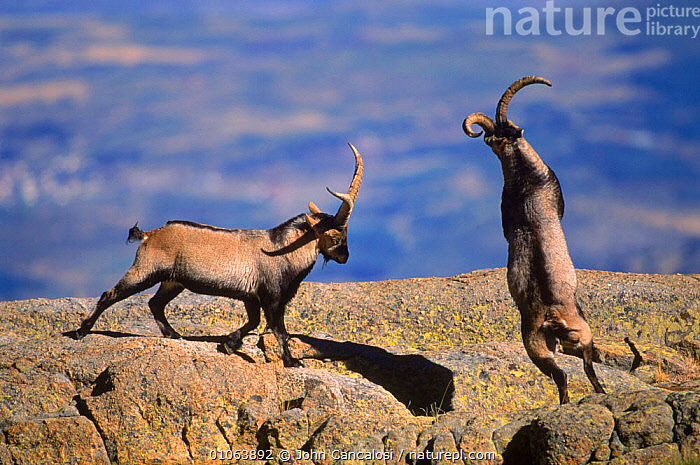 Spanish ibex {Capra pyrenaica} males in rut fighting, butting using horns, Spain  ,  BUTTING,MALE,AGGRESSION,JOHN,MALES,RUT,JCA,TWO,COMPETITION,EUROPE,FIGHTING,ROCKS,SPAIN,ACTION,DRAMATIC,ARTIODACTYLA,HORIZONTAL,MAMMALS,DOMINANCE,CANCALOSI,HORNS,TERRITORIAL,CONCEPTS,GOATS,ANTELOPES  ,  John Cancalosi