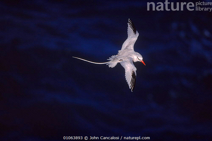 Red tailed tropicbird {Phaethon rubricauda} in flight, Antigua, West Indies, 35,ANTIGUA,BIRDS,CANCALOSI,CARIBBEAN,FEATHERS,FLIGHT,FLYING,HORIZONTAL,INDIES,JCA,JOHN,OUTSTANDING,PORTRAIT,PORTRAITS,RUBRICAUDA},TAILS,TROPICBIRD,WEST,WHITE,West Indies, John Cancalosi