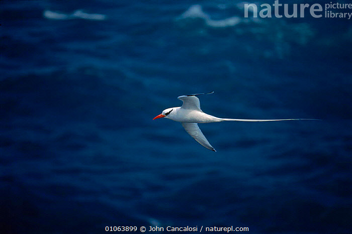 Red billed tropicbird {Phaethon aethereus} flying over sea, Antigua, West Indies, CARIBBEAN,HORIZONTAL,WATER,SEABIRDS,TAILS,FEATHERS,ANTIGUA,FLYING,BIRDS,WEST,INDIES,CANCALOSI,JCA,JOHN,SEA,WHITE,West Indies, John Cancalosi