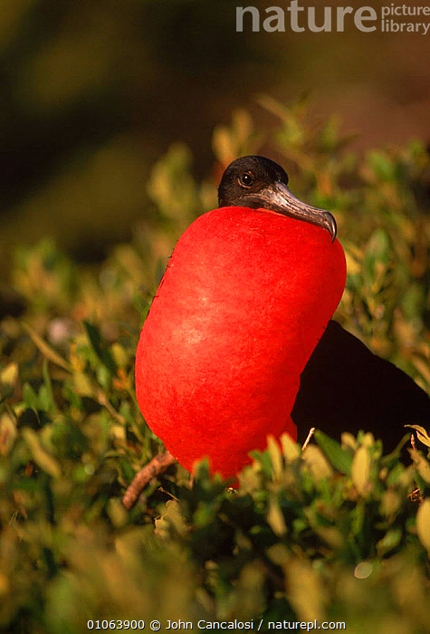 Magnificent frigatebird {Fregeta magnificens} male courtship display, Antigua, West Indies, BEHAVIOUR,BIRD,BIRDS,CARIBBEAN,COLOURFUL,COURTSHIP,DISPLAY,HUMOROUS,JCA,MALE,MALES,MATING BEHVIOUR,POUCH,RED,VERTICAL,WEST,CONCEPTS,COMMUNICATION,West Indies, John Cancalosi