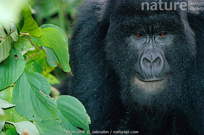 Mountain gorilla head portrait, Virunga NP, DR Congo (formerly Zaire)  ,  PORTRAITS,MAMMALS,CENTRAL AFRICA,FORMERLY,FACES,PRIMATES,ZAIRE,HEADS,AFRICA,GREAT APES , Bruce Davidson  ,  Jabruson