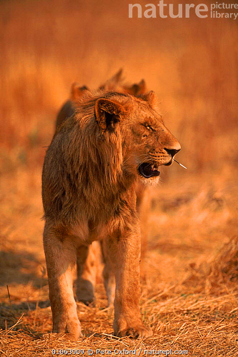 Lion {Panthera leo} male with porcupine quill in muzzle, Okavango Delta, Botswana, INTERESTING,PETER,PORCUPINE,SOUTHERN AFRICA,FACES,MOUTH,QUILL,VERTICAL,HEADS,BOTSWANA,DELTA,SAVANNA,MALE,MAMMALS,OXFORD,AFRICA,PO,CATS,OKAVANGO,CARNIVORES,GRASSLAND,LIONS,BIG CATS, Pete Oxford