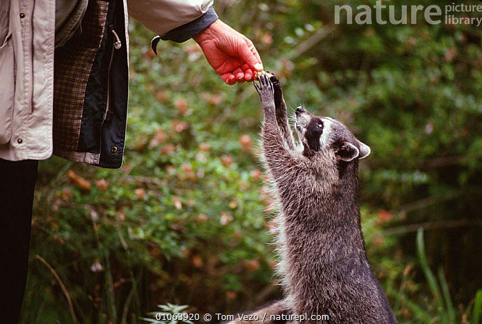 Racoon being fed by hand {Procyon lotor} Vancover, British Columbia, Canada, CANADA,CARNIVORES,CUTE,EATING,ENCOUNTER,FEEDING,MAMMALS,NORTH AMERICA,PEOPLE,RACCOONS,TAME,VERTEBRATES, Tom Vezo