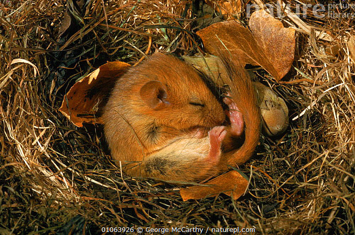 Hibernating dormouse {Muscardinus avellanarius} curled up asleep in nest, Sussex, UK, CURLED,HORIZONTAL,SLEEPING,CUTE,NUTS,HIBERNATION,WINTER,ENGLAND,FRUIT,GMA,SUSSEX,HAZEL,HIBERNATING,NEST,NESTS,RODENTS,UK,MAMMALS,EUROPE,ASLEEP,UNITED KINGDOM,BRITISH,MURIDAE,Plants, George McCarthy