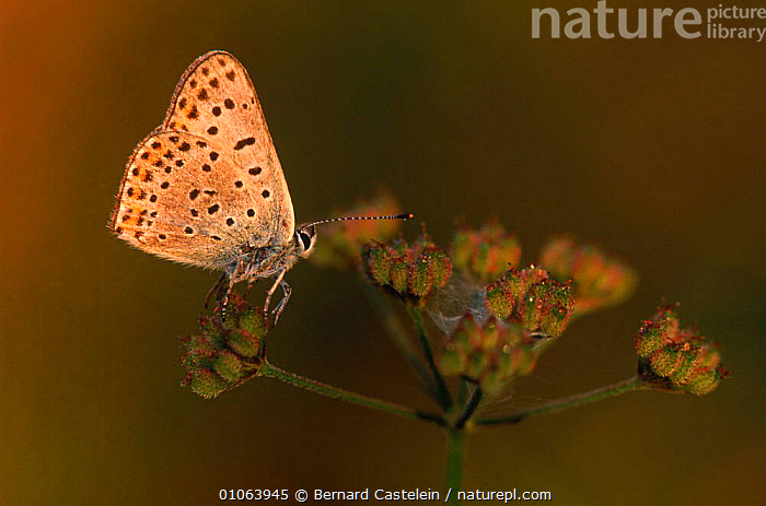 Sooty copper butterfly {Lycaena tityrus} France, PLANTS,BERNARD,BC,HORIZONTAL,WINGS,CASTELEIN,INSECTS,INVERTEBRATES,VERTICAL,EUROPE,BUDS,FRANCE,SPOTS,LEPIDOPTERA, Bernard Castelein