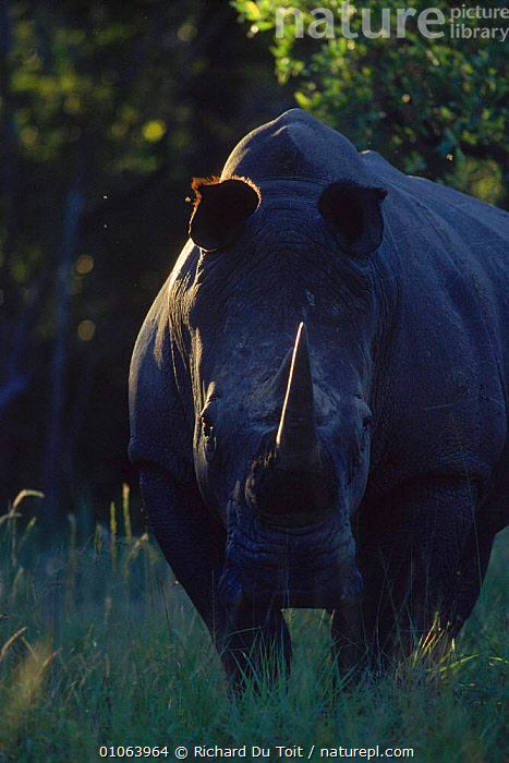 White rhinoceros {Ceratotherium simum} male at dusk, MM Game Reserve, South Africa, FACES,RDT,DUSK,RICHARD,DU,GAME,TOIT,HORN,MM,PERISSODACTYLA,BULL,PORTRAITS,SOUTHERN AFRICA,VERTICAL,RESERVE,SOUTH,PORTRAIT,HEADS,AFRICA,MAMMALS,Catalogue1 , rhino, rhinos, rhinoceros, , rhino, rhinos, rhinoceros,, Richard Du Toit