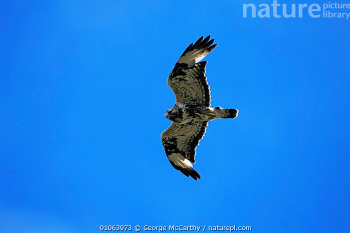 Rough-legged buzzard {Buteo lagopus} in flight, Varanger Peninsular, Norway.  ,  ACTION,BIRDS,BIRDS OF PREY,BLUE,EUROPE,FLYING,HAWKS,NORWAY,SKY,VERTEBRATES,Scandinavia  ,  George McCarthy