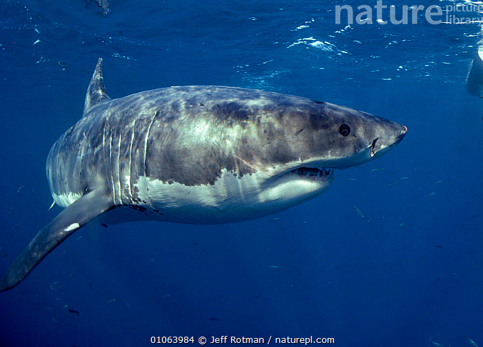Great white shark portrait {Carcharodon carcharias} Dangerous Reef, South Australia, AUSTRALIA,FISH,JR,MARINE,ONE,OUTSTANDING,PACIFIC,PORTRAIT,PORTRAITS,SHARKS, Fish, Jeff Rotman