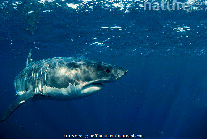 Great white shark portrait {Carcharodon carcharias} Dangerous Reef, South Australia, FISH,MARINE,SHARKS,PACIFIC, Fish, Jeff Rotman