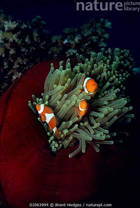 Clown anemonefish in anemone {Amphiprion percula} Coral sea, Australia., FISH,AUSTRALIA,BARRIER,CORAL REEFS,DAMSELFISH,GREAT,VERTICAL,PACIFIC,TROPICAL,MARINE,UNDERWATER,SYMBIOSIS,Concepts,Partnership, Partnership, Brent Hedges