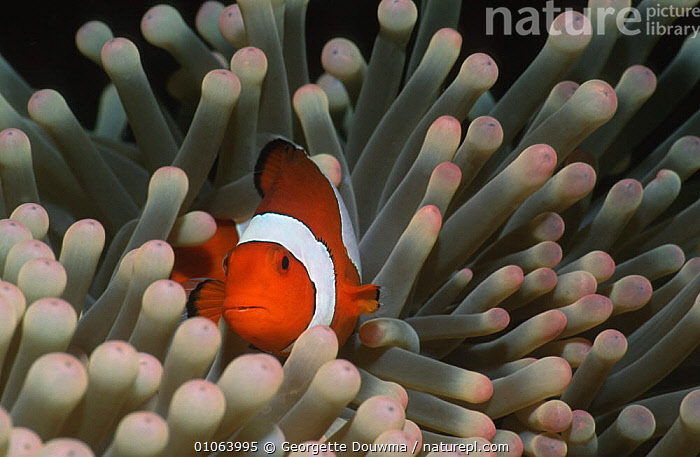 False Clown anemonefish {Amphiprion ocellaris} amongst tentacles of anemone, Sulawesi, Indonesia, AUSTRALIA,CORAL REEFS,DAMSELFISH,FISH,INDONESIA,INDO PACIFIC,MARINE,OSTEICHTHYES,SEA ANEMONE,SYMBIOSIS,UNDERWATER,VERTEBRATES,Asia,Concepts,Partnership, Partnership, Georgette Douwma
