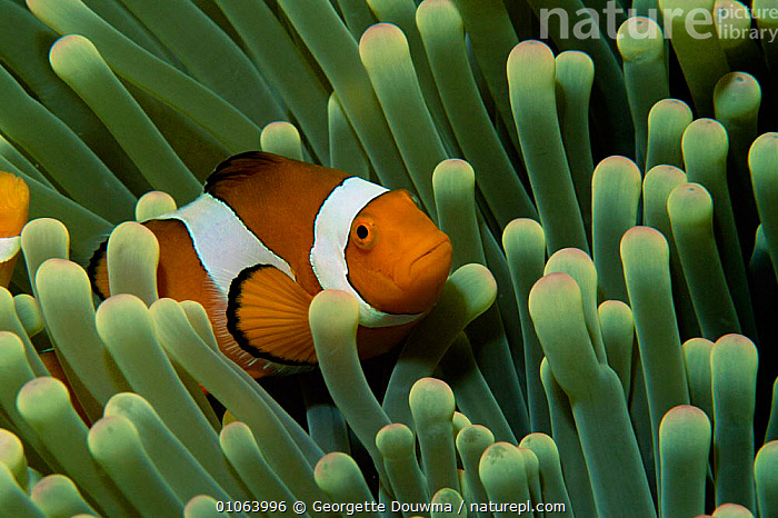 False Clown anemonefish in anemone {Amphiprion ocellaris} Sulawesi, Indonesia., CORAL REEFS,DAMSELFISH,FISH,AUSTRALIA,INDONESIA,HORIZONTAL,MARINE,UNDERWATER,TROPICAL,SYMBIOSIS,Asia,Concepts,Partnership, Partnership, Georgette Douwma