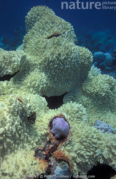 Bleached leather coral caused by loss of algae. Maldives., INDIAN OCEAN ISLANDS,SICK,ALGAE,INDIAN OCEAN,MARINE,ANTHOZOANS,DEATH,SOUTH EAST ASIA,TROPICAL,CORAL REEFS,DECOLORATION,MALDIVES,GLOBAL WARMING,UNDERWATER,Asia,Plants,Invertebrates, PETER SCOONES
