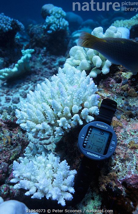 Bleached coral {Acropora sp} with meter showing 31C temperature which could cause the damage, Indian ocean, ANTHOZOANS,CLIMATE CHANGE,CNIDARIANS,CORAL REEFS,CORALS,DEATH,ENVIRONMENTAL,HARD CORAL,HARD CORALS,INDIAN OCEAN,INDIAN OCEAN ISLANDS,INVERTEBRATES,MARINE,RESEARCH,SOUTH EAST ASIA,TEMPERATURE,UNDERWATER,VERTICAL,Cnidaria, PETER SCOONES