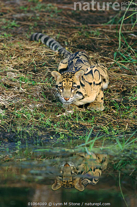Clouded leopard {Neofelis nebulosa} USA captive, REFLECTIONS,LEOPARDS,CATS,MAMMALS,CARNIVORES,WATER,RESERVE,Big Cats, Lynn M Stone