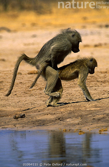 Chacma baboons mating {Papio / Chacma ursinus} Hwange NP, Zimbabwe  ,  BABOONS,COPULATION,male female pair,MAMMALS,mating behaviour,MONKEYS,PRIMATES,RESERVE,SOUTHERN AFRICA,VERTEBRATES,VERTICAL,Reproduction  ,  Pete Oxford
