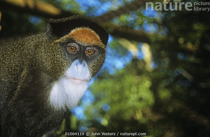 De Brazza's monkey {Cercopithecus neglectus} West africa, FACES,Guenons,MAMMALS,MONKEYS,PORTRAITS,PRIMATES,VERTEBRATES,WEST AFRICA,Africa, John Waters