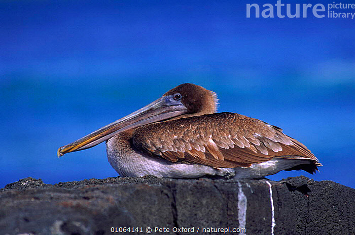 Juvenile brown pelican {Pelecanus occidentalis} San Cristobal Is, Galapagos Islands, Book page 108, PO,PROFILE,JUVENILE,SOUTH AMERICA,PETER,BEAKS,OXFORD,SEABIRDS,BIRDS,SITTING,CRISTOBAL,GALAPAGOS*,PORTRAIT,PORTRAITS,SAN,ISLANDS,ROCKS, Pete Oxford