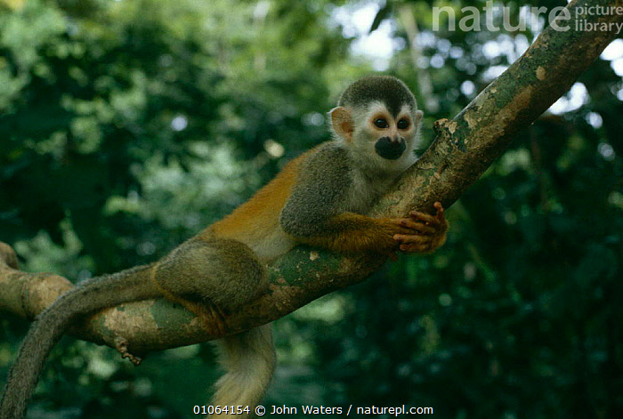 Red backed squirrel monkey {Saimiri oerstedii} in canopy, Costa Rica  ,  CENTRAL AMERICA,MAMMALS,MONKEYS,PRIMATES,SQUIRREL MONKEYS,VERTEBRATES  ,  John Waters