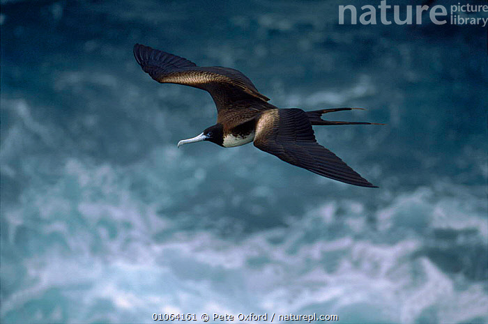 Magnificent frigate bird {Fregeta magnificens} female flying over sea, Galapagos,, ACTION,BIRD,BIRDS,FEMALE,FLYING,GALAPAGOS,HORIZONTAL,OXFORD,PETER,PO,SEA,SEABIRDS,SOUTH AMERICA,WAVES,WINGS, Pete Oxford