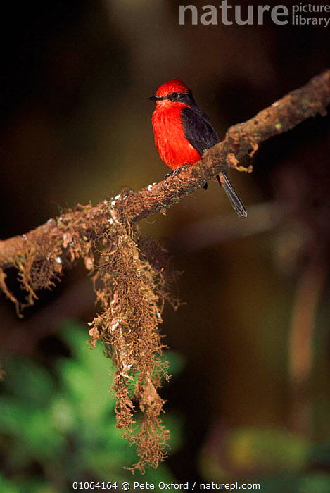 Vermillion flycatcher {Pyrocephalus rubinus}, Santa Cruz Island, Galapagos Ecuador  ,  BIRDS,BRANCH,BRANCHES,COLOURFUL,CRUZ,ECUADOR,GALAPAGOS,ISLAND,OXFORD,PASSERINES,PERCHING,PETER,PO,RED,SANTA,SOUTH AMERICA,VERTICAL  ,  Pete Oxford