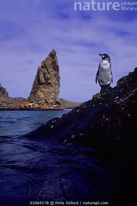 Galapagos penguin {Spheniscus mendiculus} on rocks above sea, Bartalome Is, Galapagos Islands, BARTALOME,BIRDS,COASTAL WATERS,COASTS,CUTE,FLIGHTLESS,GEOLOGY,ISLANDS,OXFORD,PENGUINS,PETER,PO,PORTRAIT,ROCK FORMATIONS,ROCKS,SEA,SEABIRDS,SOUTH AMERICA,VERTICAL,SOUTH-AMERICA, Seabirds, Pete Oxford