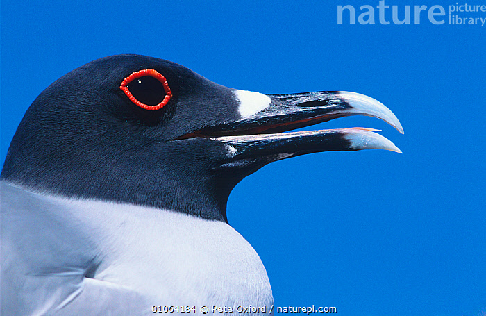 Swallow tailed gull {Creagrus furcatus} portrait, Tower (Genovesa) Island, Galapagos Islands  ,  BIRDS,EYES,FACES,GALAPAGOS,GULLS,HEADS,MARINE,PORTRAITS,PROFILE,SEABIRDS,VERTEBRATES  ,  Pete Oxford