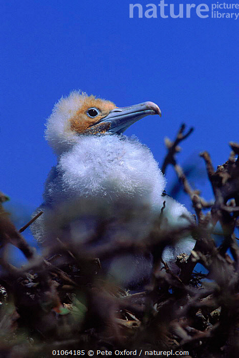 Great frigate bird chick {Fregeta minor} Tower (Genovesa) Is, Galapagos, BIRDS,CHICK,CUTE,DOWN,FACES,FEATHERS,GALAPAGOS,GENOVESA,HEADS,JUVENILE,OXFORD,PETER,PO,PORTRAITS,SEABIRDS,SOUTH AMERICA,TOWER,VERTICAL,YOUNG, Pete Oxford