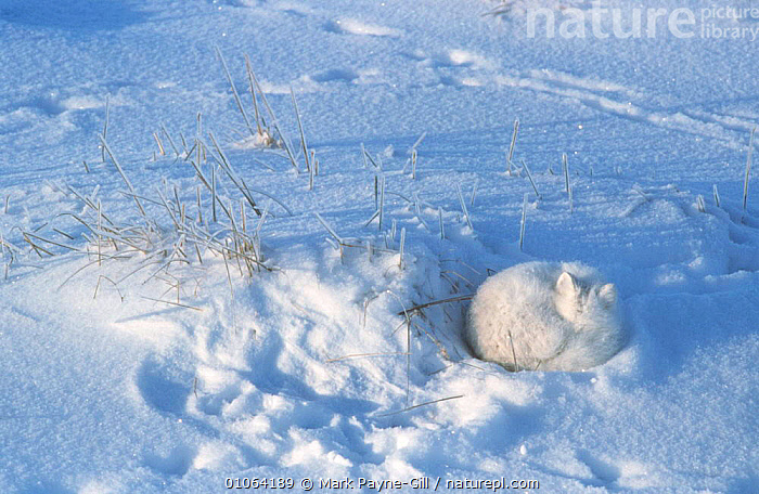 Arctic fox {Vulpes lagopus} curled up asleep in snow, Canada, ARCTIC,ASLEEP,CAMOUFLAGE,CANADA,CANIDS,CARNIVORES,COLD,CUTE,FOXES,MAMMALS,POLAR,RESTING,SLEEPING,SNOW,TUNDRA,VERTEBRATES,WINTER,North America,Dogs, Mark Payne-Gill