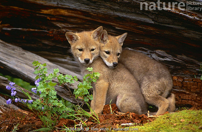 Two Coyote pups {Canis latrans} sitting against tree bark, captive, Montana, USA, BARK,CANIDS,CARNIVORES,COYOTES,CUTE,JUVENILE,MAMMALS,SITTING,TREES,USA,VERTEBRATES,North America,Plants,Dogs, Tom Vezo