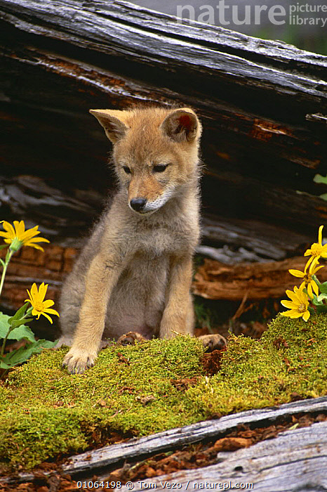 Coyote pup portrait {Canis latrans} sitting against tree bark, captive, Montana, USA, BARK,CANIDS,CARNIVORES,COYOTES,CUTE,JUVENILE,MAMMALS,PORTRAITS,SITTING,TREES,USA,VERTEBRATES,VERTICAL,North America,Plants,Dogs, Tom Vezo